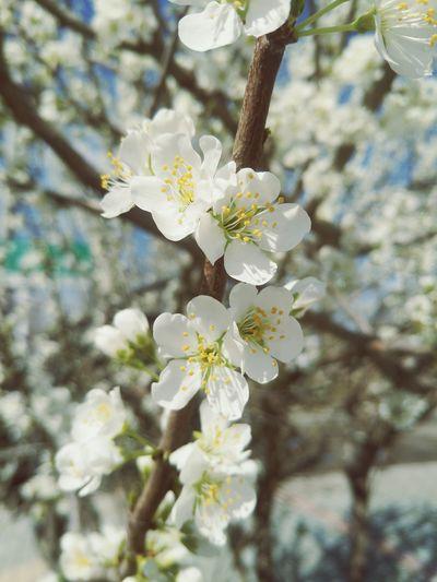 春天花会开 Flower Head Flower Tree Branch Springtime Blossom Petal White Color Close-up