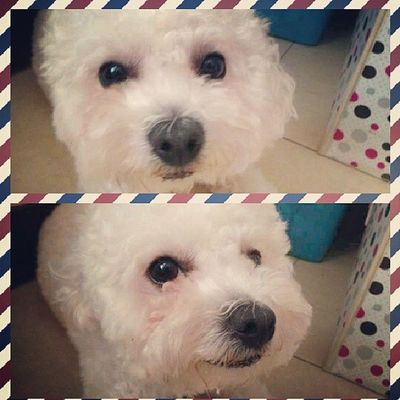 Wish you have a good day~Bichon Bichonfrise Cute Puppy