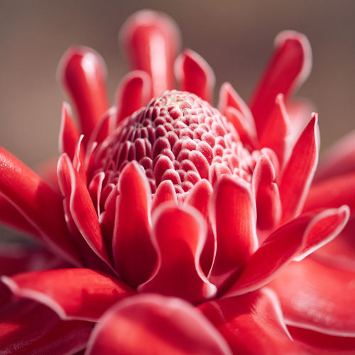 Etlingera elatior, torch ginger Torch Ginger Beauty In Nature Blooming Close-up Day Etlingera Elatior Flower Flower Head Fragility Freshness Growth Nature No People Outdoors Petal Plant Red Selective Focus