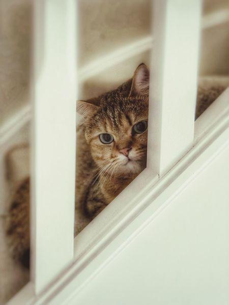 Pets Cat Domestic Domestic Animals Domestic Cat Feline Animal Themes