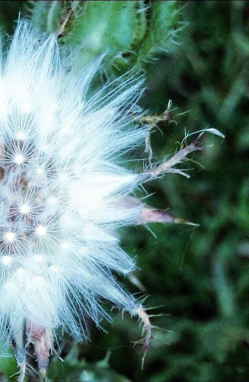 CLOSE-UP OF DANDELION FLOWERS