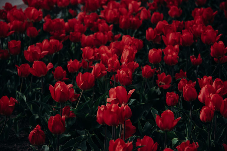 Tulips Tulip Red Flowers Flower Flowering Plant Plant Growth Beauty In Nature Fragility Vulnerability  Freshness Nature Petal Red Close-up No People Inflorescence Outdoors Flower Head Full Frame Backgrounds Land Abundance Field Flowerbed