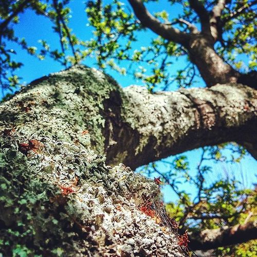 Anejo . Frutal Ciruelo Viejo Añoso árbol Tree Plum Plumtree Old Olè Musgo Moss Lichen Branch Wood Fruittree Fruit Countryside Instacool Instapic