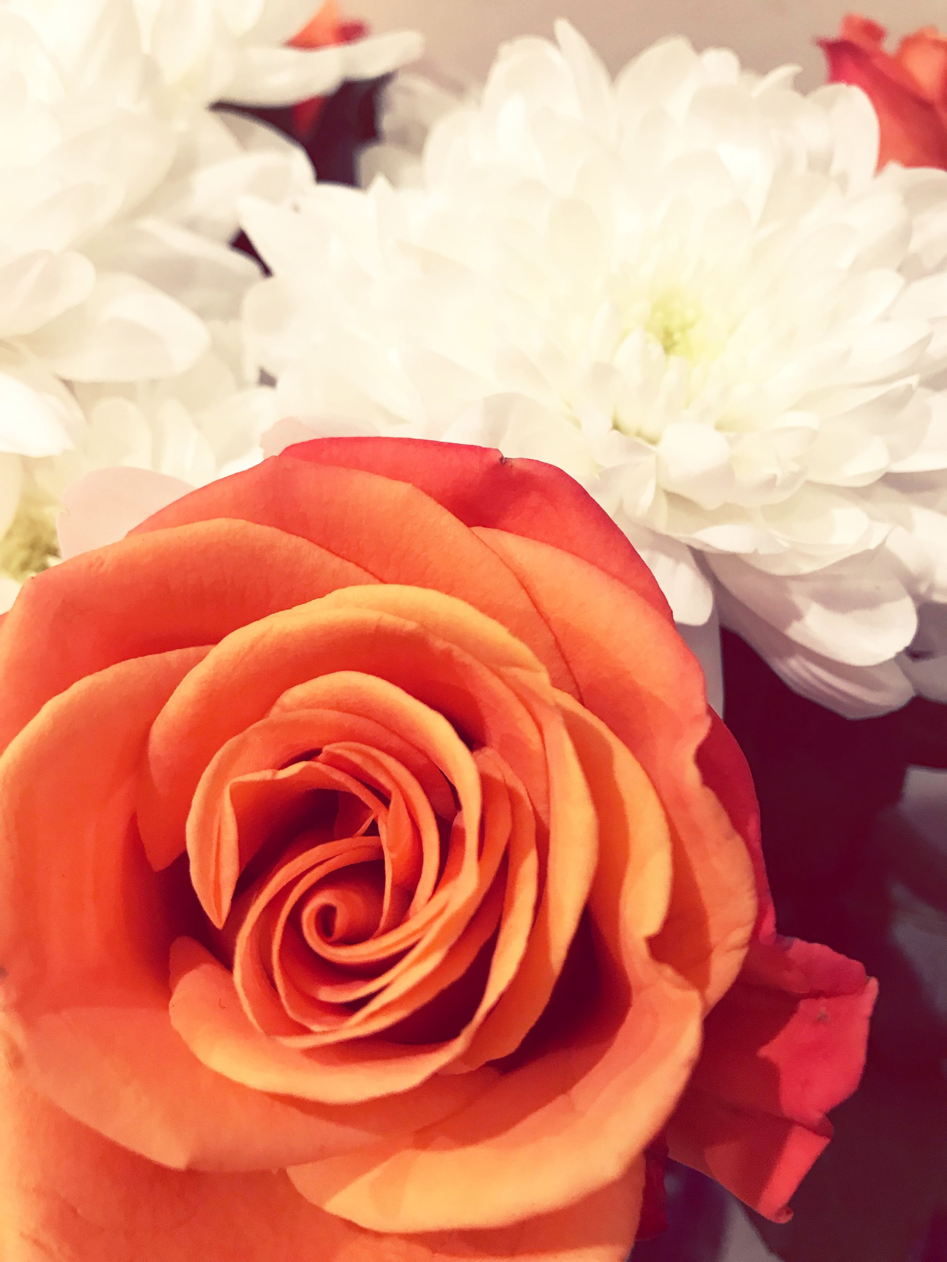 flower, flowering plant, beauty in nature, rose, freshness, plant, vulnerability, rose - flower, fragility, close-up, petal, flower head, inflorescence, nature, no people, focus on foreground, indoors, growth, flower arrangement, bouquet, softness