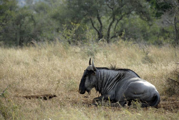 Wildebeest resting on field