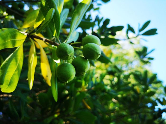 Tree Fruit Leaf