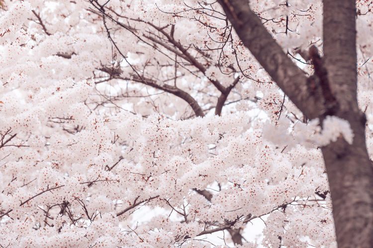 Cherry Blossoms Pink Color Plant Tree Flower Flowering Plant Blossom Springtime Branch Cherry Blossom Cherry Tree Nature