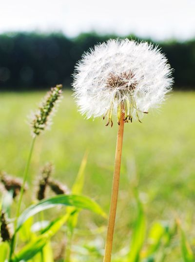 Flower Growth Fragility Nature Dandelion Focus On Foreground Plant Close-up Beauty In Nature Flower Head Day Outdoors No People Freshness