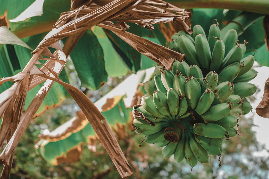 Day 30 of 365 EyeEm Best Shots EyeEmNewHere EyeEm Gallery Fujifilm_xseries 365project EyeEm Nature Lover Bestoftheday food stories Nature Growth Beauty In Nature Tropical Climate No People Green Color Plant Leaf Tree Freshness Outdoors Healthy Eating