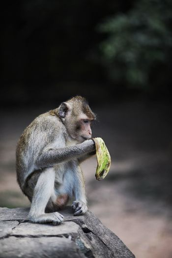 One Animal Animals In The Wild Animal Wildlife Animal Themes Mammal Monkey Sitting Outdoors No People Eating Day Food Nature