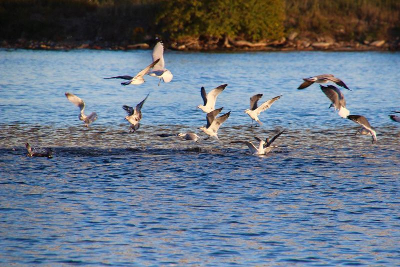 Animal Themes Large Group Of Animals birds over water Flying Outdoors Flock Of Birds Water Beauty In Nature