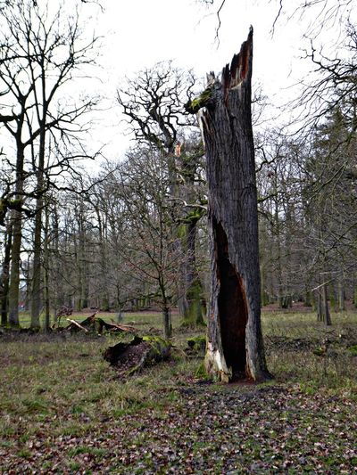 still standing🙄🤗 Love My Hometown❤ Newyearswalk❤ Power Of Nature Beauty In Evanescence All Beauty Must Die Hollow Tree For My Friends😚 Tiergarten Hannover Nature Reserve Beautiful Forest Tree Day Forest Nature Tree Trunk Outdoors No People Shades Of Winter Go Higher