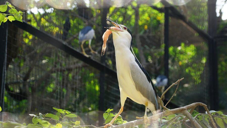 Bird Animal Themes Animal One Animal Vertebrate Animals In The Wild Animal Wildlife Focus On Foreground No People Day Nature Birds Wild Life Night Heron