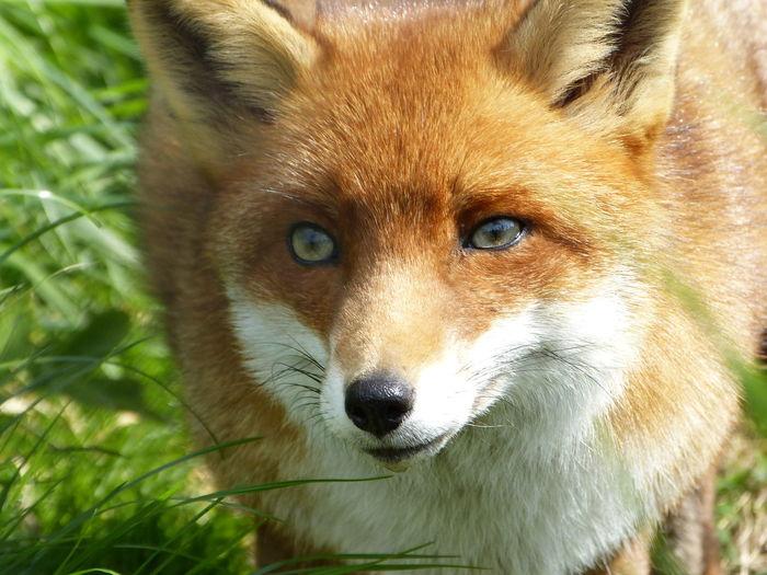 Mr fox Portrait Looking At Camera Fox Eye Animal Eye Alertness Close-up Animal Body Part Canine Snout Nose Animal Nose Animal Ear Adult Animal Animal Face
