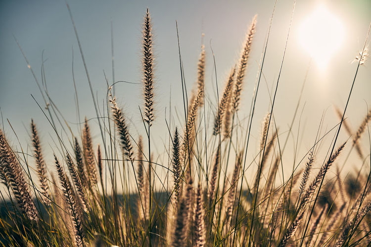 Agriculture Beauty In Nature Cereal Plant Close-up Crop  Day Ear Of Wheat Farm Field Freshness Grass Growth Landscape Nature No People Outdoors Plant Rural Scene Scenics Sky Sunlight Tranquil Scene Tranquility Wheat