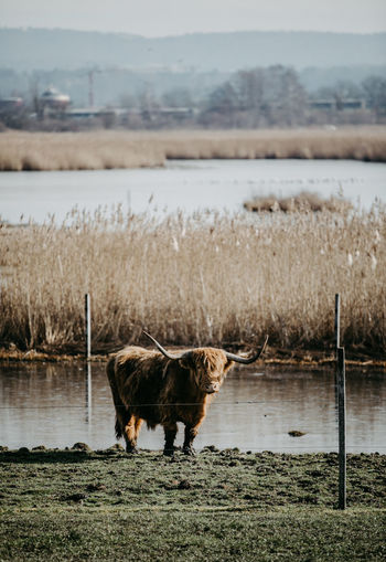 Scottish highland cattle standing on field by lake