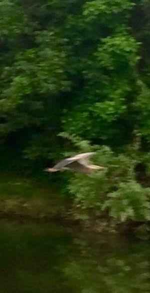 Great Blue Heron 5/23/17