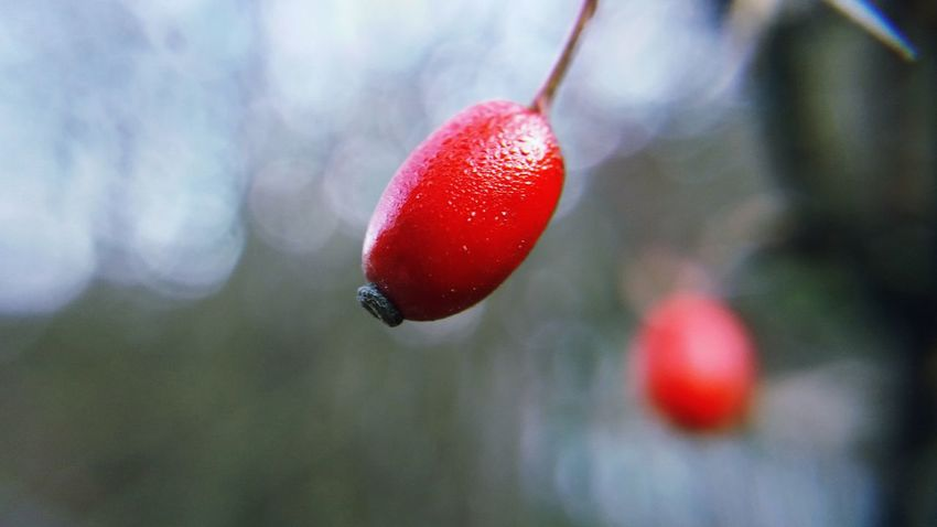 Red fruits of hunger in close up on a cold winter morning Beauty In Nature Berry Fruit Close-up Cold Temperature Day Focus On Foreground Food Food And Drink Freshness Fruit Growth Hawthorn Hawthorn Berries Healthy Eating Nature No People Outdoors Red Rose Hip Tree Winter