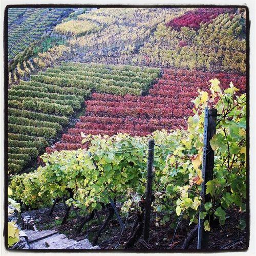 Wineyard Weinberg Walheim Besigheim herbst