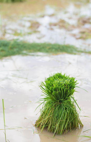 Rice paddies in the countryside. Thailand🇹🇭 Rural Scene Rice Paddy Water Raw Food Rains Wet Outdoor Season  Plant Tree Countryside Paddy Field Dirt Green Food Earth Farmer ASIA Agriculture
