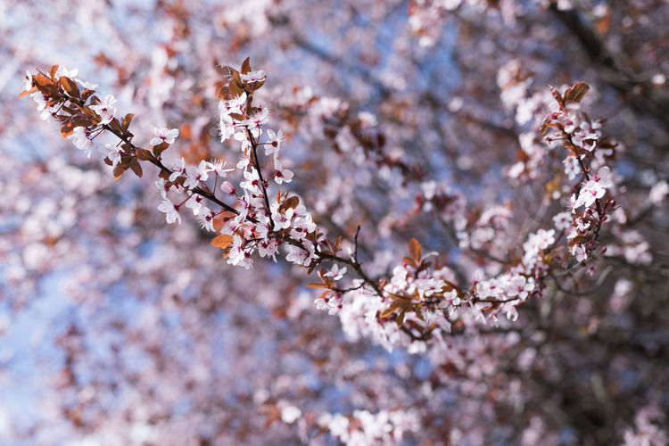 Tree Flower Branch Springtime Blossom Flower Head Close-up Sky Animal Themes Cherry Blossom Fruit Tree Orchard Cherry Tree In Bloom Plant Life Botany Blooming