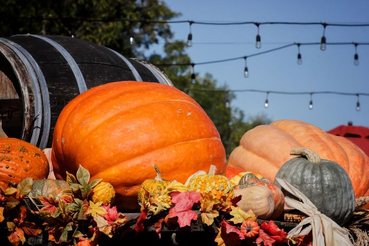 Smells like holidays. Calabazas Calabaza De Halloween Halloween Pumpkin Barrel Agriculture Wine Cask Sky Farmland Blooming Squash - Vegetable Zucchini Harvesting For Sale EyeEmNewHere Autumn Mood