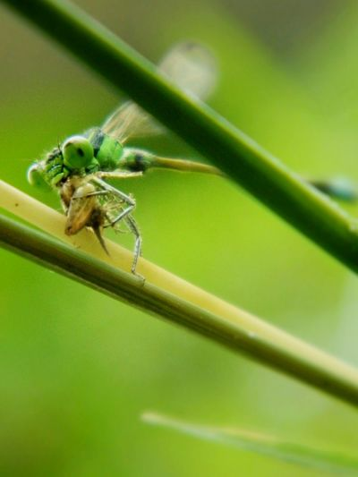 Focal Length: 27.0 mm, ISO: 80, NikonCoolpixL120 📷📷📷📷📷Damselfly Series: Eating Machanism of Odonta's. Attack Of The Macro Collection! Macro Greenery Perspective Central Park EyeEm Best Shots - Macro / Up Close Learn & Shoot: Single Light Source Learn & Shoot: Layering Capture The Moment The Places I've Been Today NikonCoolpixL120 Minimalism Deceptively Simple Urban Gardening Minimalobsession Getting Creative Going The Distance No People Beauty Redefined Human Vs Nature Adventures Beyond The Ultraworld Pattern, Texture, Shape And Form