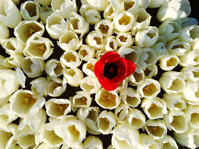 A red tulip among white Flower Red Petal Full Frame Beauty In Nature No People Love Nature Freshness Fragility Directly Above Close-up Day Flower Head Outdoors Tulips Flower Market One Alienated Wallpaper White Bouquet Blooming Springtime