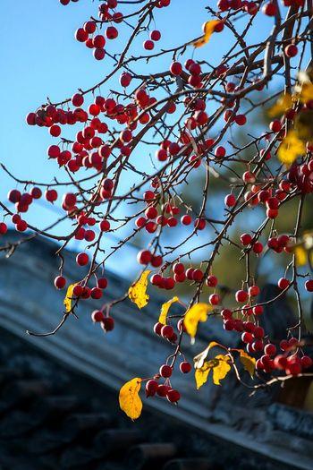中国风 北京的春天 中国 古代建筑风格 记忆 自己 红色 古代 Tree Branch Leaf Hanging Autumn Fruit Sky Close-up