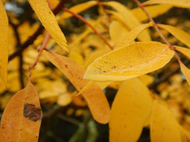 Autumn Beauty In Nature Botany Focus On Foreground Growing Leaf Leaves Nature Outdoors Plant Season  Selective Focus Tranquility Yellow