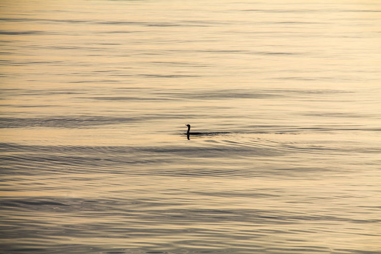 Silhouette bird swimming in sea during sunset