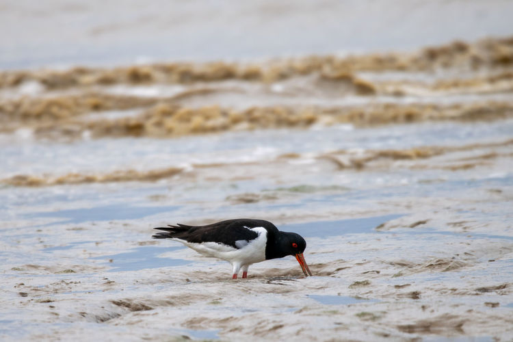 Oyster catcher, haematopus ostralegus, on mud flat coastline of bradwell on sea, essex, uk