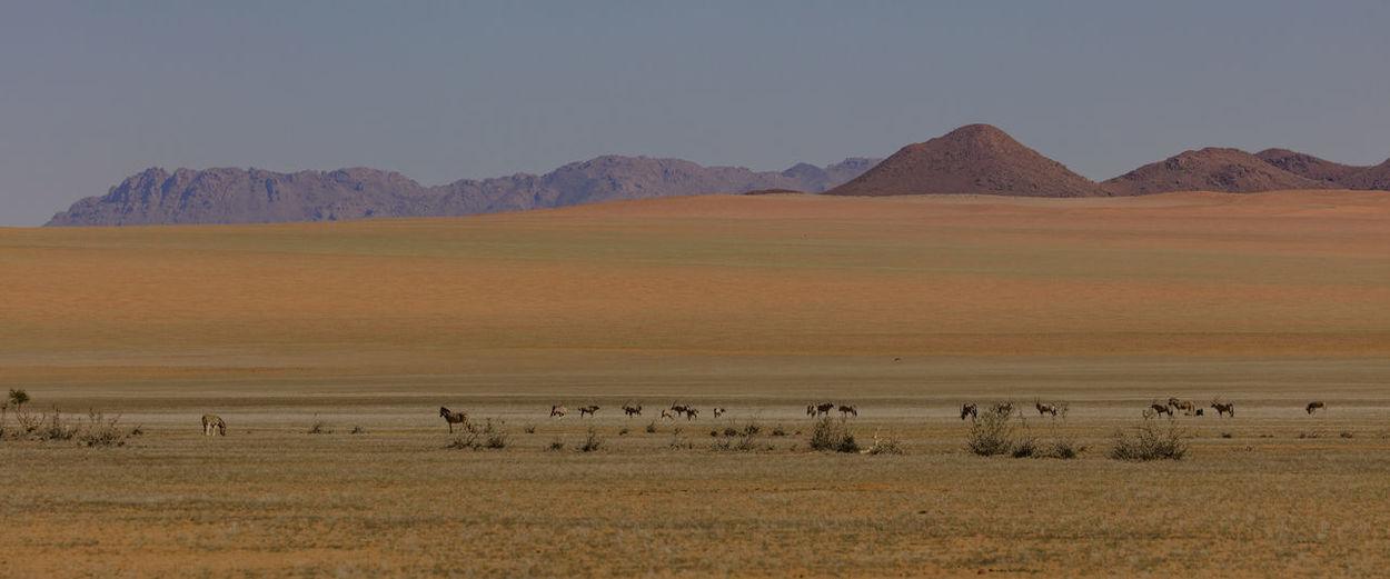 Herd of Oryxes