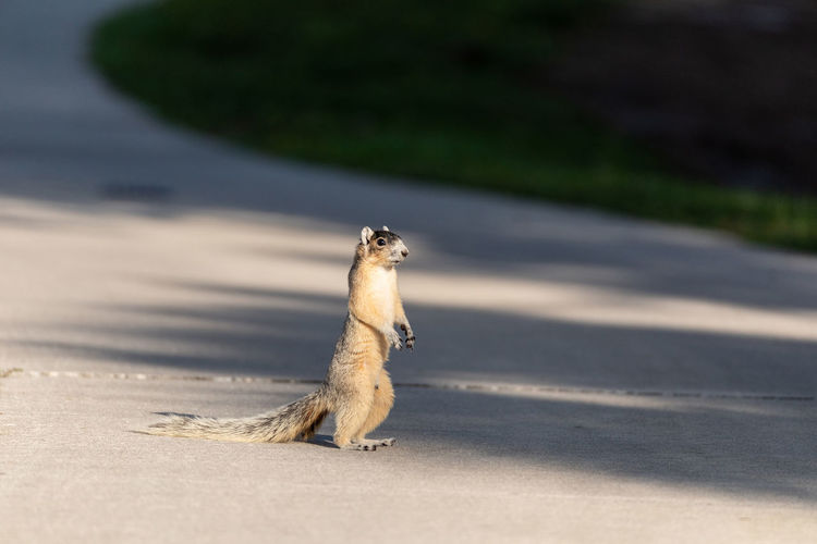 Close-up of squirrel on the road