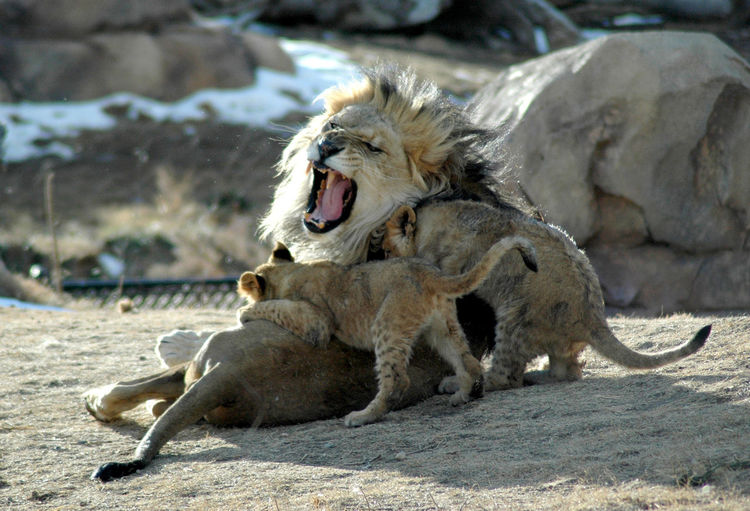 Cubs playing with lion