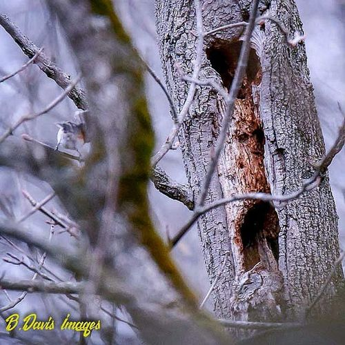 Can you spot the owl? Masterofcamouflage Hidden Raptors Screechowl Owl Predator Only_raptors Whereswaldo Wildlife_perfection Jr_lovebirds Naturephotography Birdsofprey