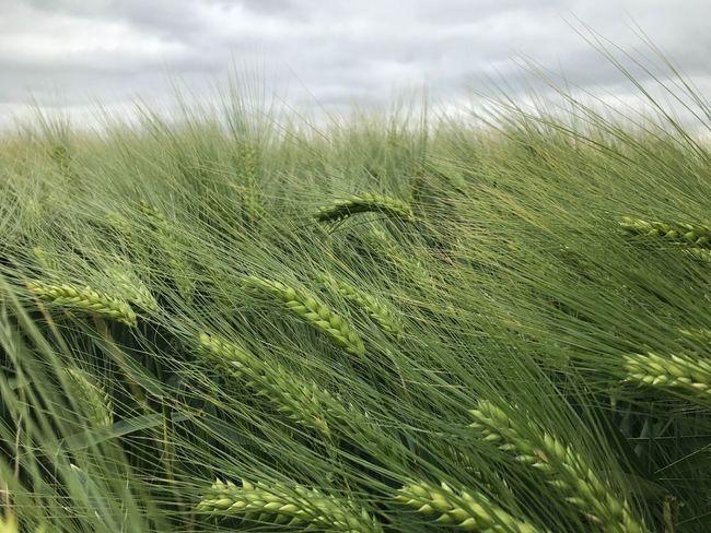 Grass Growth Field Nature Agriculture Wheat Crop  No People Green Color Plant Cereal Plant Ear Of Wheat Landscape Rural Scene Day Outdoors Close-up Beauty In Nature Sky Freshness Corn Gerste