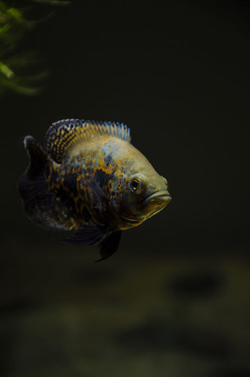 Close-Up Of Fish Swimming Tank