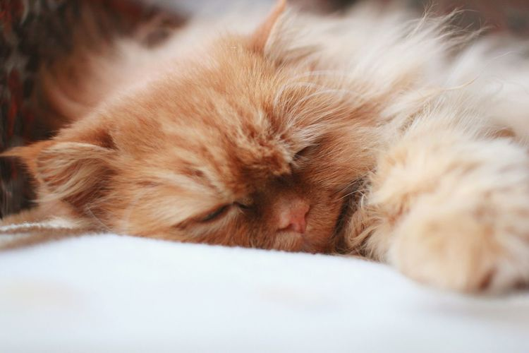 Cat Pet Animal Kitty Peach Cute Sleep Tired Dreaming No People California Dreamin Animal Face Carnivora Whisker Animal Hair Tabby Cat Yellow Eyes Domestic Animals Feline Animal Nose Mammal Animal Eye Tabby Home Sleepy Big Cat Ginger Cat At Home Napping Snout