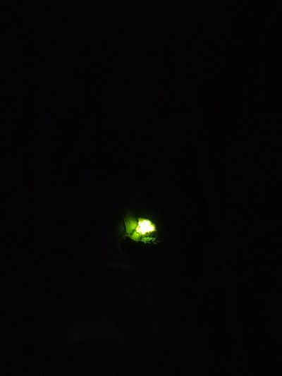 glowworm glow worm glühwürmchen Glow Glowing Glowinthedark Glow Worm Glowworm Glühwürmchen Black Background Illuminated Dark Sky