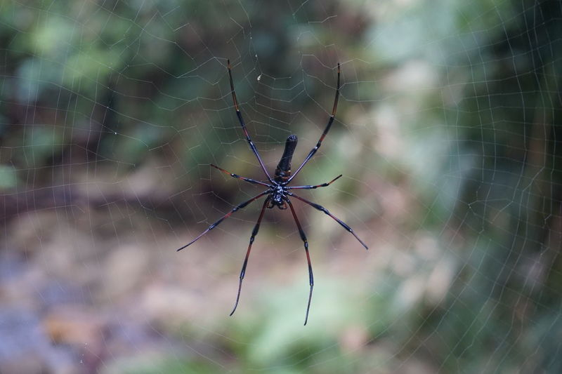 Now something yuk for ones and fascinating for others Australia Everything Want To Kill Yaa Here Mate Animal Themes Animals In The Wild Arachnid Babinda Boulders Close-up Day Fragility Insect Nature No People Outdoors Selective Focus Spider Spider Web Web