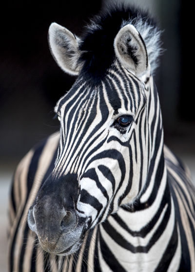 Animal Markings Animal Themes Animal Wildlife Animals In The Wild Close-up Day Focus On Foreground Looking At Camera Mammal Nature No People One Animal Outdoors Portrait Safari Animals Striped Zebra