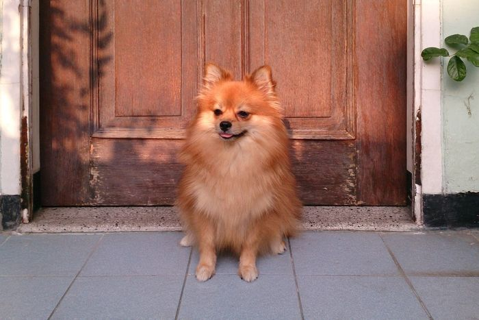 Pets Corner Pet Portraits Dog Pets Domestic Animals One Animal Door Animal Mammal Protruding Animal Themes Looking At Camera Pomeranian Sticking Out Tongue Portrait Panting No People Smiling Outdoors Day