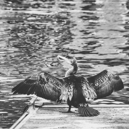 Bird #animal #Animal Theme #animal Portrait #Oiseau #canon Photography #Moment Photo #Love Photo #noir Et Blanc Water