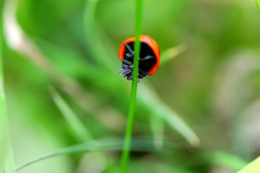 Animal Themes Invertebrate Insect Animal One Animal Animal Wildlife Animals In The Wild Selective Focus Close-up Beetle Ladybug Nature Focus On Foreground Plant No People Green Color Beauty In Nature Day Outdoors
