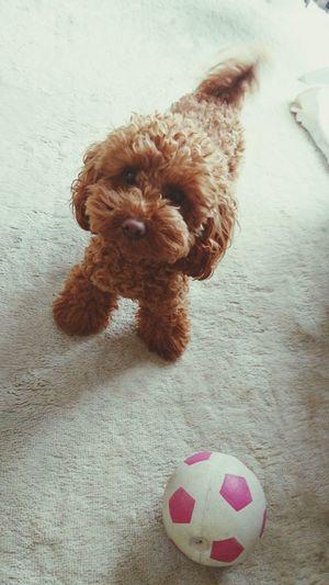 犬 トイプードル