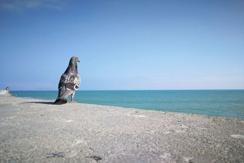 View of bird perching on beach against clear blue sky