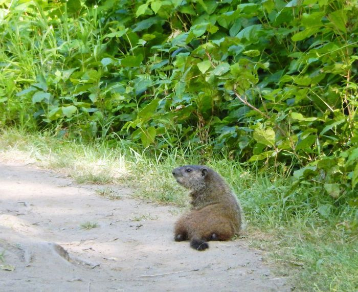 Groundhog Day Eyem Nature Lover Hello World Mammal Gods Creation Capture The Moment Eyeem Community Eyeem Market EyeEm Gallery EyeEm Eyeem Photography Eyem Collection Middletown Pennsylvania Animal Photography Middletown, Pa Chilling In The Sun Looking For Shade Animals