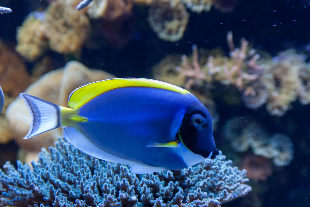 animal themes, animals in the wild, one animal, sea life, fish, animal wildlife, underwater, close-up, nature, swimming, indoors, undersea, water, no people, day, clown fish
