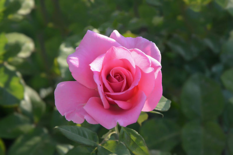 Natural Beauty Beauty In Nature Close-up Flower Flower Head Fragility Freshness Leaf Nature No People Outdoors Petal Pink Color Romantic❤ Rosé Rose - Flower